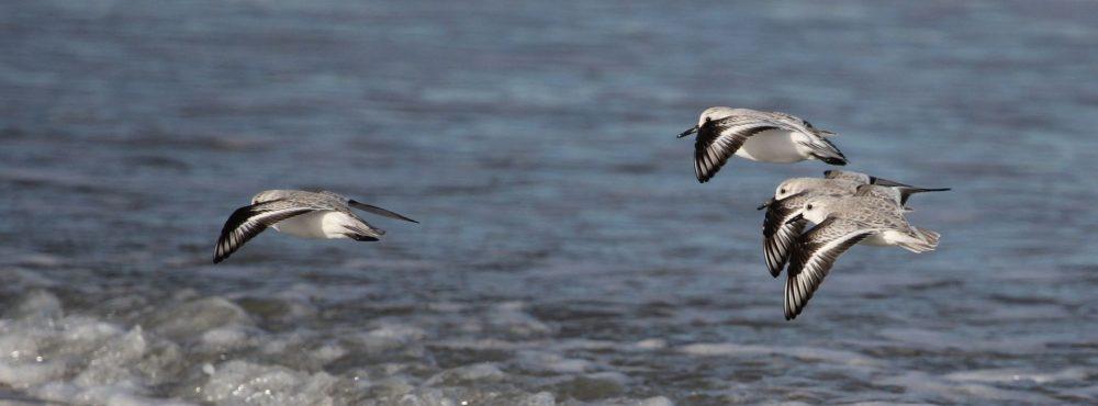 Bécasseaux sanderling en vol sur la plage.