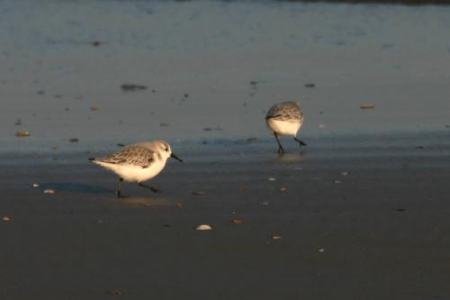 Bécasseau sanderling.