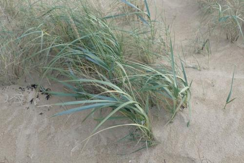 Elyme des sables.