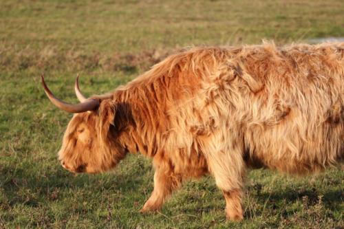 Vache highland.