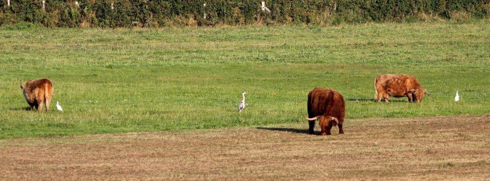 Vache highland et hérons.